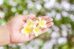 Τροπική Plumeria εκμετάλλευση χεριών λουλουδιών διαθέσιμη με το θολωμένο πράσινο boke Στοκ Φωτογραφία