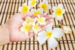 Τροπική Plumeria εκμετάλλευση χεριών λουλουδιών διαθέσιμη με το θολωμένο τροπικό Π Στοκ Εικόνες