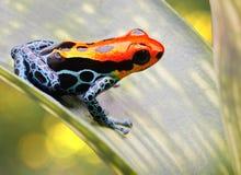 Τροπικός βάτραχος βελών δηλητήριων Στοκ Εικόνες