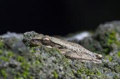Τροπικός βάτραχος στο mossy macrophoto πετρών Καφετιά κινηματογράφηση σε πρώτο πλάνο ματιών φρύνων Στοκ Εικόνα