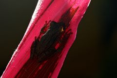 Τροπικός βάτραχος Stauffers Treefrog, staufferi Scinax, που κάθεται στα ρόδινα φύλλα Στοκ εικόνα με δικαίωμα ελεύθερης χρήσης