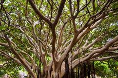 Τροπικός δασικός θόλος φύλλων κλάδων δέντρων πράσινος limp στοκ εικόνα με δικαίωμα ελεύθερης χρήσης