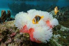 Τροπικός Ειρηνικός Ωκεανός ψαριών anemone θάλασσας Στοκ Φωτογραφίες