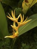 τροπικός κίτρινος λουλ&omi Στοκ Εικόνα