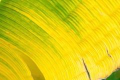 Τροπικός κιτρινοπράσινος στενός επάνω φύλλων μπανανών Στοκ Φωτογραφία