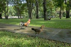 Τροπικός κόκκορας που περπατά μέσω του πράσινου πάρκου Στοκ φωτογραφίες με δικαίωμα ελεύθερης χρήσης