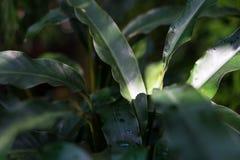 Τροπικός στενός επάνω φύλλων angusta heliconia φυτών Στοκ Φωτογραφίες