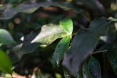 Τροπικός στενός επάνω φύλλων angusta heliconia φυτών Στοκ φωτογραφίες με δικαίωμα ελεύθερης χρήσης