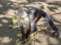 Τροπικός Capuchin πίθηκος Στοκ Φωτογραφία
