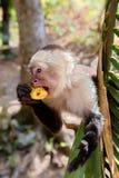 Τροπικός Capuchin πίθηκος Στοκ φωτογραφία με δικαίωμα ελεύθερης χρήσης