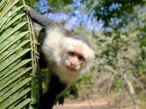 Τροπικός Capuchin πίθηκος Στοκ Εικόνες