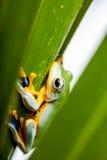 Τροπικό δάσος, φυσικό περιβάλλον, εξωτικός βάτραχος στοκ εικόνα