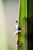 Τροπικό δάσος, φυσικό περιβάλλον, εξωτικός βάτραχος στοκ φωτογραφία