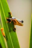 Τροπικό δάσος, φυσικό περιβάλλον, εξωτικός βάτραχος στοκ φωτογραφία με δικαίωμα ελεύθερης χρήσης