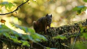 Τροπικό δάσος Hoh, ολυμπιακό εθνικό πάρκο, ΟΥΑΣΙΓΚΤΟΝ ΗΠΑ - τον Οκτώβριο του 2014: Κόκκινη συνεδρίαση σκιούρων σε ένα καλυμμένο β Στοκ Εικόνες