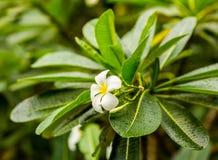 Τροπικό άσπρο λουλούδι plumeria, εθνικό φυτό του Μπαλί και Λάος, στα πλαίσια των πράσινων μεγάλων φύλλων Στοκ Εικόνα