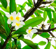 Τροπικό άσπρο frangipani λουλουδιών (plumeria) με τα πράσινα φύλλα Στοκ Φωτογραφίες