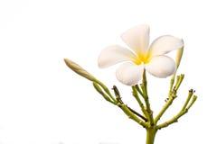 Τροπικό άσπρο frangipani λουλουδιών (plumeria) Στοκ φωτογραφία με δικαίωμα ελεύθερης χρήσης