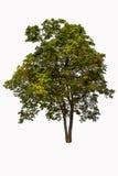 Τροπικό δέντρο Στοκ Εικόνα
