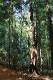 Τροπικό δάσος - ζούγκλα σε Goa Στοκ Εικόνα