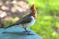 Τροπικό ζωηρόχρωμο κόκκινο πουλί στο νησί Maui, Χαβάη Στοκ Εικόνες