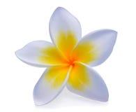 τροπικό διάνυσμα shri plumeria περιδεραίων lanka της Ινδονησίας απεικόνισης της Χαβάης frangipani λουλουδιών του Μπαλί Στοκ φωτογραφίες με δικαίωμα ελεύθερης χρήσης