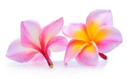 τροπικό διάνυσμα shri plumeria περιδεραίων lanka της Ινδονησίας απεικόνισης της Χαβάης frangipani λουλουδιών του Μπαλί Στοκ Φωτογραφίες