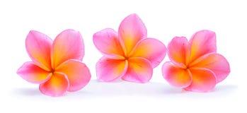 τροπικό διάνυσμα shri plumeria περιδεραίων lanka της Ινδονησίας απεικόνισης της Χαβάης frangipani λουλουδιών του Μπαλί Στοκ Φωτογραφία