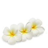 τροπικό λευκό frangipani λουλο&up Στοκ εικόνα με δικαίωμα ελεύθερης χρήσης