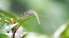 Τροπικό λουλούδι στη βροχή απόθεμα βίντεο