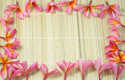 Τροπικό λουλούδι Frangipani ή plumeria Στοκ φωτογραφίες με δικαίωμα ελεύθερης χρήσης