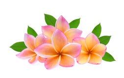 Τροπικό λουλούδι Frangipani, plumeria, Lanthom, λουλούδι Leelawadee Στοκ φωτογραφία με δικαίωμα ελεύθερης χρήσης