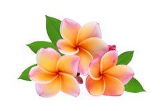 Τροπικό λουλούδι Frangipani, plumeria, Lanthom, λουλούδι Leelawadee Στοκ Εικόνες