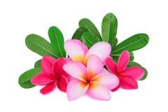 Τροπικό λουλούδι Frangipani, plumeria, Lanthom, λουλούδι Leelawadee Στοκ εικόνες με δικαίωμα ελεύθερης χρήσης