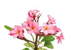 Τροπικό λουλούδι Plumeria Στοκ Εικόνες