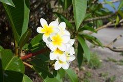 Τροπικό λουλούδι Plumeria alba άσπρο Frangipani στο βάραθρο ενός απότομου βράχου Υπόβαθρο ωκεανών και ουρανού Μπαλί Ινδονησία ree Στοκ φωτογραφία με δικαίωμα ελεύθερης χρήσης