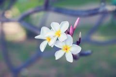 Τροπικό ΛΦ plumeria λουλουδιών frangipani plumeria λουλουδιών Plumeria Στοκ Φωτογραφίες