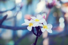 Τροπικό ΛΦ plumeria λουλουδιών frangipani plumeria λουλουδιών Plumeria Στοκ φωτογραφία με δικαίωμα ελεύθερης χρήσης
