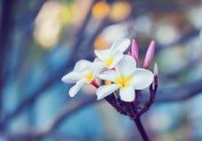 Τροπικό ΛΦ plumeria λουλουδιών frangipani plumeria λουλουδιών Plumeria Στοκ Εικόνες