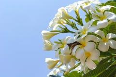 Τροπικό λουλούδι άσπρο Plumeria alba στο υπόβαθρο μπλε ουρανού Στοκ εικόνα με δικαίωμα ελεύθερης χρήσης