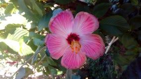 Τροπικό λουλούδι της Rosa Linda στοκ εικόνες
