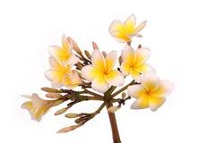 Τροπικό λουλούδι Plumeria Στοκ Εικόνα