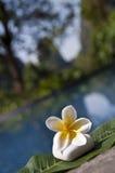 Τροπικό λουλούδι frangipani Plumeria Στοκ φωτογραφία με δικαίωμα ελεύθερης χρήσης