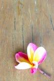 Τροπικό λουλούδι Plumeria στο ξύλο Στοκ Εικόνες
