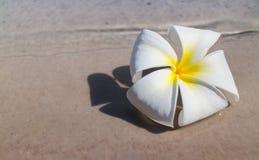 Τροπικό λουλούδι Plumeria Στοκ Φωτογραφία