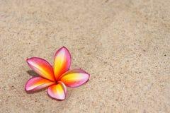 Τροπικό λουλούδι Plumeria alba στην αμμώδη παραλία Στοκ εικόνες με δικαίωμα ελεύθερης χρήσης