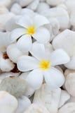 Τροπικό λουλούδι Plumeria alba Στοκ Φωτογραφίες