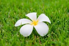 Τροπικό λουλούδι Plumeria alba Στοκ Εικόνες