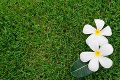 Τροπικό λουλούδι Plumeria alba Στοκ εικόνα με δικαίωμα ελεύθερης χρήσης