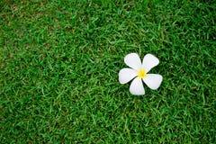Τροπικό λουλούδι Plumeria alba Στοκ Εικόνα
